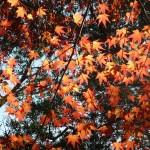 maple-leaves-kamakura-musique21-huillet