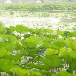 water-lilies-beijing-musique21-huillet